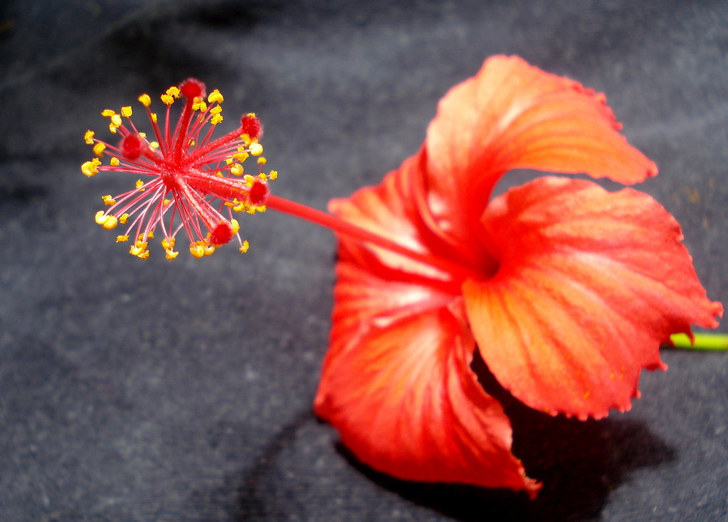 The Worlds Best Photos Of Hibiscus And Puertorico Flickr Hive Mind