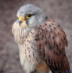 (bandashing) Tags: england bird manchester prey sylhet bangladesh bandashing