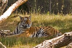 Tiger 7 (DrBartje) Tags: tiger safaripark beeksebergen