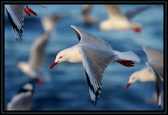 Silver Gull, August Wollongong Pelagic, 22.8.09 (Callocephalon Photography) Tags: red sea bird water beautiful silver many seagull gull flock flight australia depthoffield nsw common rare larus pelagic silvergull larusnovaehollandiae sigma50500mmf463 canoneos40d vosplusbellesphotos offwollongong augustwollongongpelagic
