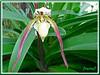 Paphiopedilum rothschildianum (Slipper Orchid)
