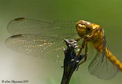 20090712_9088 (Lino Sgaravizzi ) Tags: macro natura insetti libellula naturesfinest abigfave flickrdiamond