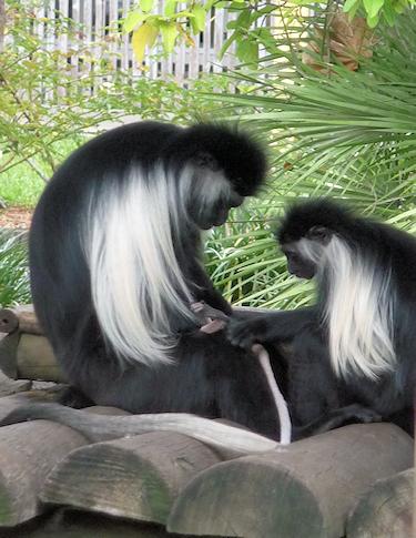 primate10