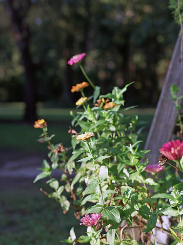 zinnias in morning's first light...