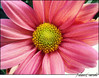 . Chrysanthemum (Juliana Coutinho) Tags: pink brazil flower primavera nature brasil riodejaneiro sony natureza flor rosa amarelo juliana chrysanthemum asteraceae coutinho compositae crisântemo sunsetflower ngmmemuda julianacoutinho flordeouro
