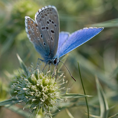 Azur bleu cleste (Polyommatus bellargus) Adonis Blue (Sinkha63) Tags: plant france flower macro nature fleur beautiful animal closeup butterfly insect wildlife lepidoptera papillon getty insecte gettyimages flore limousin umbelliferae lycaenidae apiaceae lpidoptre polyommatinae polyommatusbellargus adonisblue eryngiumcampestre chardonroland ombellifres 75faves azurbleucleste panicautdeschamps puydarnac 100commentgroup apiace belargus dragondaggeraward saariysqualitypictures panicautchamptre chardonroulant fielderyngo watlingstreetthistle