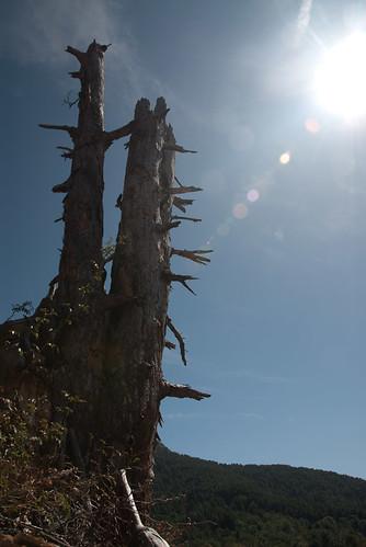 Schatzinselbaum