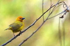 Taveta Golden Weaver (Laurent Baumann - My wild side) Tags: bird jaune golden kenya weaver oiseau mombasa marche2 tisserin marche3 taveta crve2 crve3 marche5 marche6 crve1 marche4 marche1
