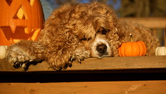 (bree343) Tags: dog pet cute halloween animal pumpkin sweet adorable curly cockerspaniel hollie brianawinters