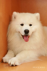 Fluffy (Kelvin Wong (Away)) Tags: life portrait dog pet cute beauty animal canon wonderful amazing superb display fluffy australia exhibition excellent adelaide charming southaustralia royaladelaideshow interestiness canoneos400d canoneosrebelxti canoneoskissx kelvinwong piscesromance