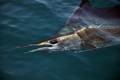 The Elusive Sailfish (JeyMatt Photography) Tags: fish sportfishing seafishing biggamefishing gamefish colorphotoaward merchungsailfishfishingtrip