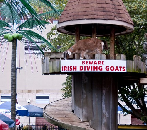 Irish Diving Goats in Memphis