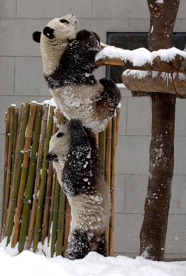 panda-helping-hand