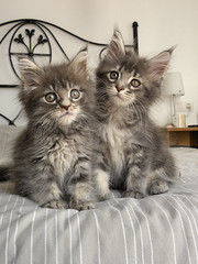 Chaton Maine Coon