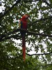 A macaw in the tree.