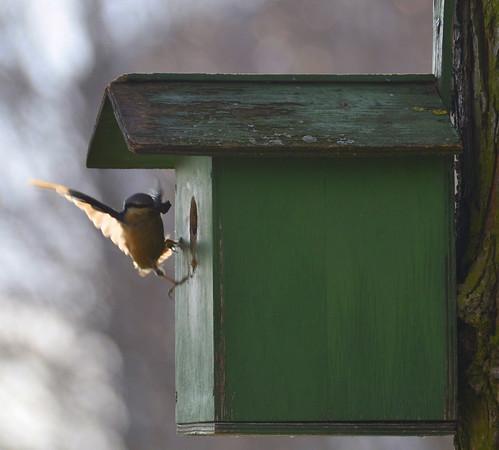 Kleiber am Vogelhaus