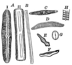 Forms of diatoms,Pinnularia (agewinatra) Tags: algae diatoms greenalgae eunotia pinnularia diatoma