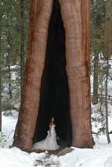 JAM_3653 (jasonmoxon) Tags: trees wedding jason tree dress large lesley sequoia cid moxon