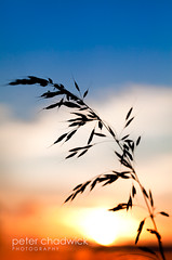 Red_white_and_blue (PeterChad) Tags: blue red sun white france nature beauty grass canon french relax evening diy dof flag joy seed bluesky serenity 5d rest setting redwhiteandblue tricolour contrejour ripe defocus tricolore lamarseillaise chehire goodmorningall lescouleurs