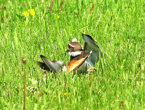 Killdeer Distraction Display 20090524