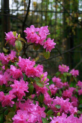 Pink flowerbushes