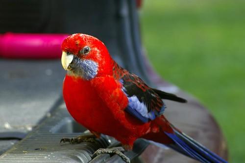 Crimson Rosella - Wilsons Promontory