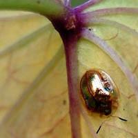 goldbug cu