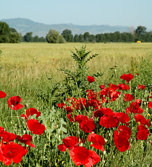 korca_field2 (freelancer74) Tags: field wheat poppy albania korce korca nikonflickraward