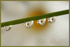 4 Love (Ptur Gunn Photograpphy) Tags: flower macro love photo sony 4 sigma alfa mm 105 700 petur gunn a700 flickrlovers