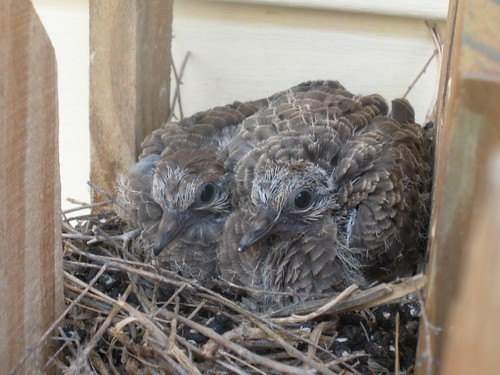 baby mourning doves