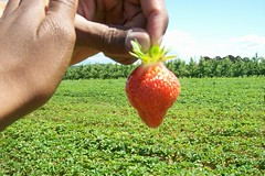 spring 09 pics 027 (dadootdoots) Tags: spring strawberries farms organic