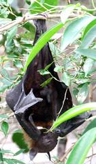 bat (erinold) Tags: penis zoo budapest bat llat llatkert nvnykert