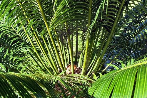 Cycas circinalis (rq) - 03