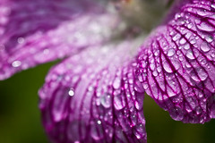 Purple drops (Bas Lammers) Tags: flower macro canon dof bloem 50d aplusphoto colourartaward platinumheartaward mygearandmepremium mygearandmebronze mygearandmesilver mygearandmegold mygearandmeplatinum