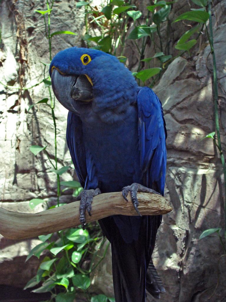DSC06306 blue parrot