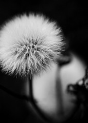 Fuzzy ball (manuel ek) Tags: bw white black flower macro nature closeup nikon sweden bokeh gray micro 105 simple d2xs