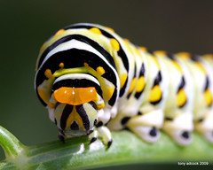 Black Swallowtail Caterpillar displaying its Osmeterium or scent gland (tonyadcockphotos) Tags: nature butterfly butterflies caterpillar fennel larva butterflyhouse butterflygarden papiliopolyxenes blackswallowtailcaterpillar osmeterium stinkhorns danvilleva natureoutpost macrolife danvillesciencecenter butterflystation scentgland
