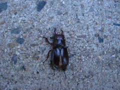 Big black dead bug (VestandTie) Tags: bug insect beetle sidewalk pinchers