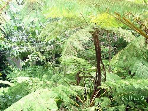 El Yunque: Helechos Gigantes