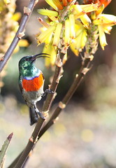 A male Greater Double-collared Sunbird (Cinnyris afer) at Walter Sisulu National Botanical Garden, near Roodeport, Johannesburg, South Africa (Derek Keats) Tags: africa birds southafrica botanicalgardens johannesburg greaterdoublecollaredsunbird cinnyrisafer waltersisulunationalbotanicalgarden globalbirdtrekkers