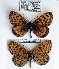 JL13-02 Melitaea yuenty (nymsysgro) Tags: china nymphalidae nymphalinae melitaea melitaeini melitaeina yuenty