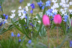 IMG_7593 (HAKANU) Tags: flowers blue red garden geotagged spring cabin colours tulips sweden småland bulbs scilla summerhouse växjö springtime puschkinia ilovemypics theamazingphoto