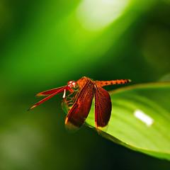 talk to the hand! macro@SBG (Filan) Tags: botanical nikon singapore nikond70s micro nikkor sbg reddragonfly filan nikkor200mmf4 filanthaddeusventic filannikon filand3 filantography nikonfilan filanthography nikonianfilan iamfilan