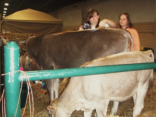 on brwon and one white cow and two girls grooming them in stalls at the state fair