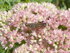 Grasshopper on flower