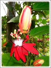 Passiflora coccinea (Red granadilla, Scarlet/Red Passion Flower)