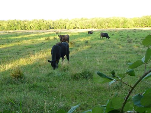 blackberry cows