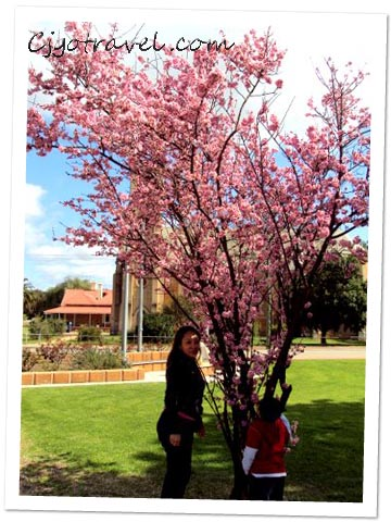 Cherry Blossom at York Town, Australia