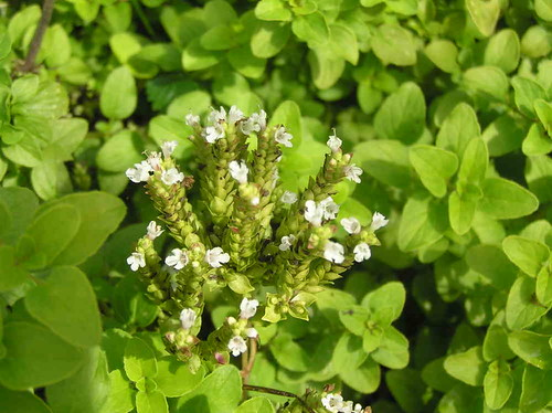 Oregano in a Home Kitchen Garden