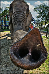 elephant trunk (Dan Anderson (dead camera, RIP)) Tags: elephant minnesota animal nose zoo funny snorkel pachyderm trunk rides renaissancefestival mn pickle proboscis 100commentgroup